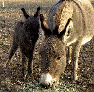 The burro was an important figure during Fairplay's mining years. It is still celebrated every July!