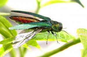 Adult Emerald Ash Borer feeding on leaves.
