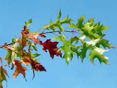Pointed lobes of red oak leaves